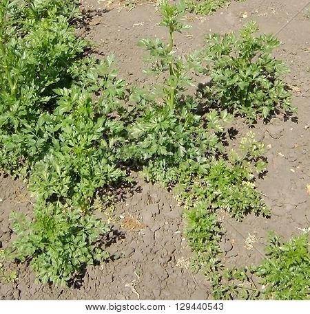 Parsley growing in a village on fertilized garden beds.