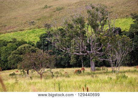 a beautiful tree and termitary - Brazilian landscape Brazil