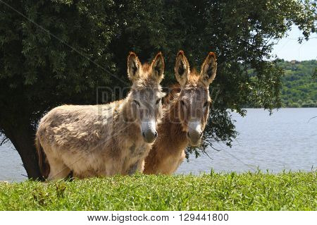 Twin brown donkeys on the meadow near river