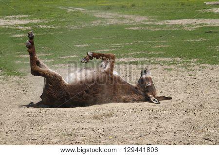 Cute donkey is bathing in the dust