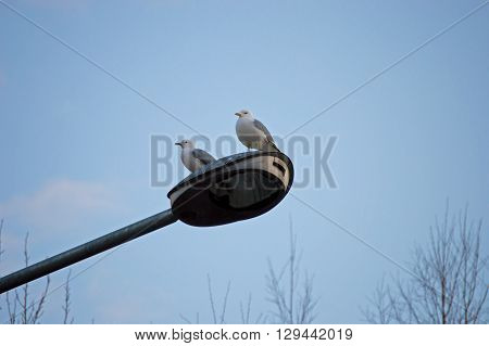 Seagull are sitting on streetlamp in warm day.