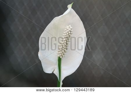 Calla Lily / White Flower on the Grey Background