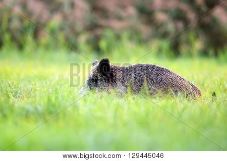 Wild boar hidden in the grass in the wild