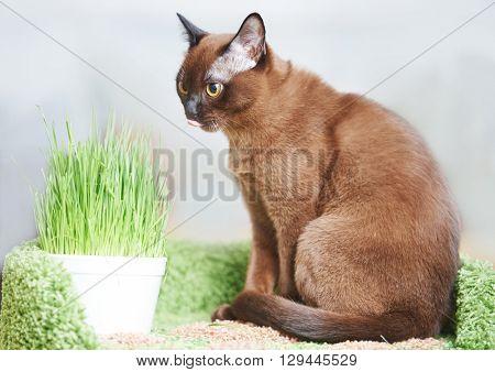 american burmese cat with green pet grass