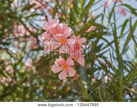 Flowering oleander. Shooting in France (Cannes) in the summer of 2013.