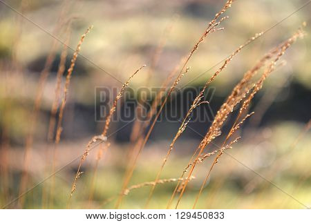 Autumn grass seed heads backlit on morning light