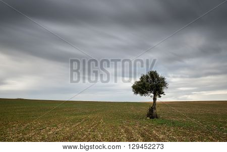 lonely olive tree on a wheat field with moving clouds. Long Exposure photo.
