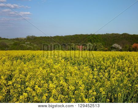 Landscape With Yellow Rape Plant Fielw