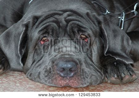 Portrait of big mastino napoletano lying on ground and looking at camera