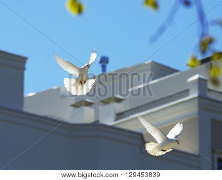 two beautiful white doves flying in the spring sky