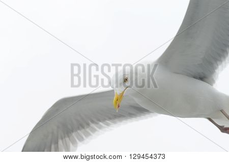 Kittiwake flying against white sky close up.
