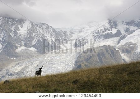 Red deer (Cervus elaphus) walking in in front of landscape with glaciers and in rut.