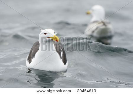 Lesser black-backed gull in water with a second one in background.