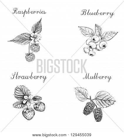 Blueberries raspberries strawberries and mulberries vector illustration. Set of berries skech.