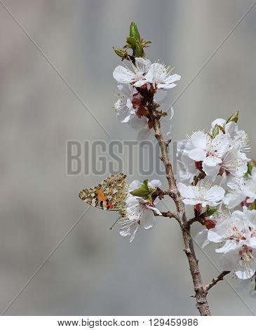 Blossoming apricot flowers and butterfly