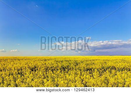 Yellow Oilseed Rape Field
