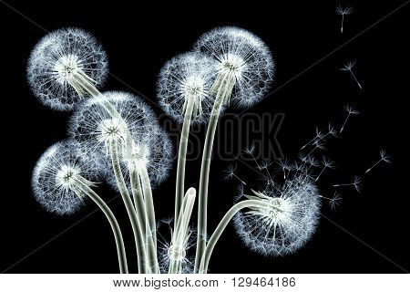 X-ray Image Of A Flower Isolated On Black , The Taraxacum Dandelion