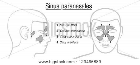 Paranasal sinuses - LATIN TERMS! Isolated vector illustration over white.