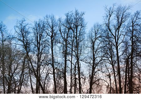 Leafless Bare Trees Over Blue Evening Sky