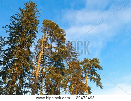 Pine Tree And Spruce Over Blue Sky
