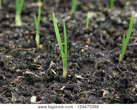 growing onions in the garden in the spring