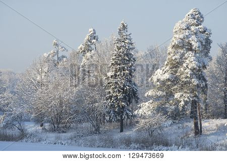 Snow-covered spruce on the shore of winter lake. Area Priory Park, Gatchina, Russia