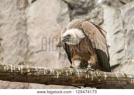 the eagle sits on the tree on the background of rocks