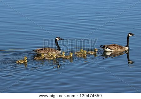 A goose family swimming across a pond, the mother and father goose guide the goslings.
