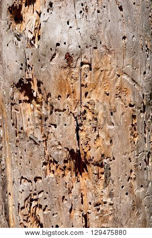 Vertical photo with wooden texture. Surface of old tree. Texture of trunk damaged by woodworm. Woodworm holes and paths. Light brown color of tree trunk.