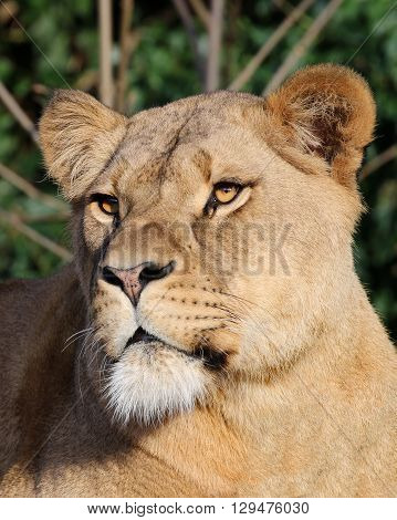 Portrait of a young Lioness with a green background