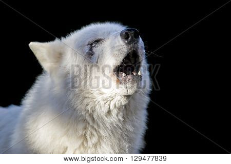 A Howling wolf with a black background