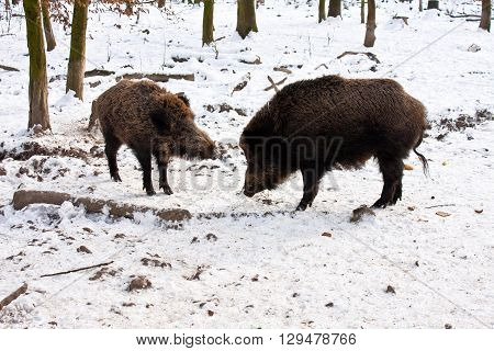 Wild Boar in in a snow-covered forest