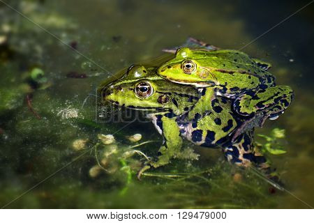green frogs during mating in the pond male sitting on the female and clutching it