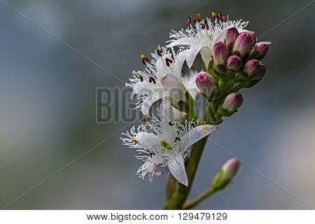 Bogbean menyanthes trifoliata inflorescence of blooming water plant closeup with copy space selected focus and narrow depth of field