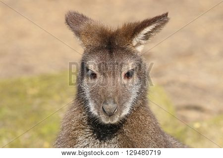 A Bennets Wallaby portrait with green background
