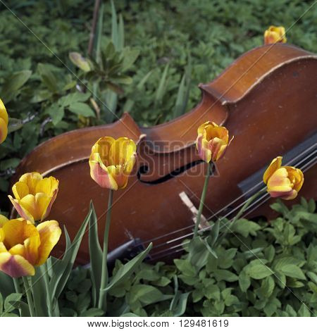 Abandoned cello laid on the flowerbed in a garden outdoor cropped shot