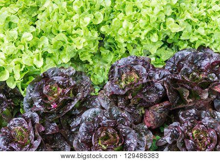 Fresh organic lettuce of the vegetable plot in the countryside farm.