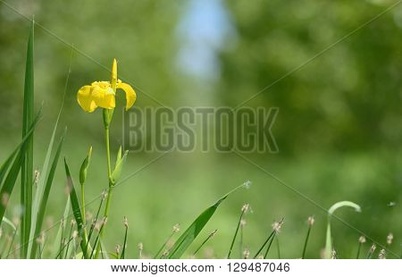 yellow flag blooming in forest