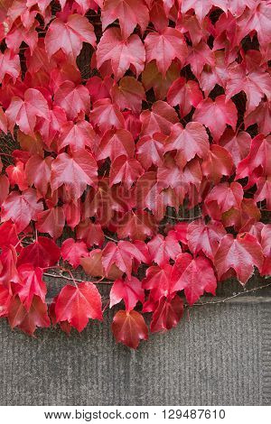 Climbing plant, Ivy leaves on the brick wall turning from green to Autumn red shade with brick copyspace
