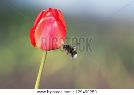 hairy black bumblebee flies up to the red Tulip