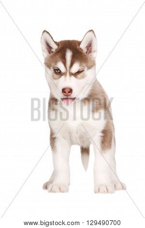 funny siberian husky puppy winks on white