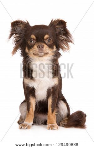 brown chihuahua dog portrait on white background