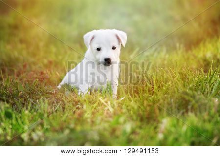 white jack russell terrier puppy outdoors in summer