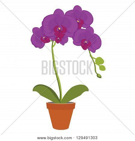 Vector illustration exotic purple orchid flower in a pot. Phalaenopsis orchid blooming in a pot