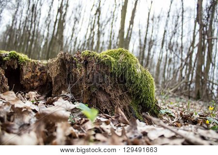 Old brown decay stump with green moss in autumn forest