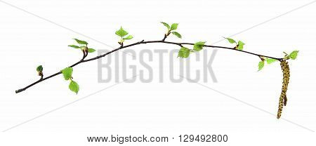 birch twig with flowering catkins blossoming branch of catkins willows close up in early spring isolated elements on white background for scrapbook object