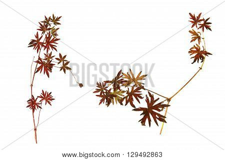 dry leaf bright red leaves of grass in the form of a star isolated leaves on white background for scrapbook leaves and seeds object autumn leaf