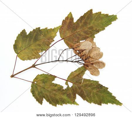 dry leaf of green maple branch tree isolated leaves on white background for scrapbook leaves and seeds object autumn leaf