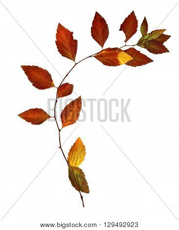red leaf delicate dry leaves flexible birch twig with dried leaves for a herbarium isolated element on white paper background for scrapbook object