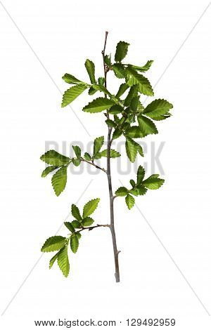 young shoots fresh leaves green unripe seeds of elm branch blossoming branch of catkins willows close up in early spring isolated elements on white background for scrapbook object